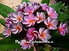 Compact Plumeria Violet Queen grafted plant