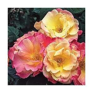 Jacobs Robe Rose Seeds Packet: Patio, Lawn & Garden