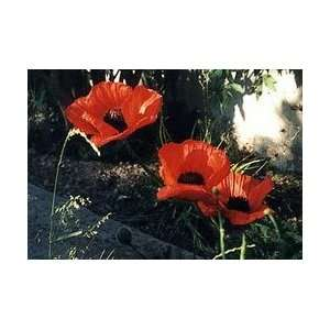 Red Poppy Flower Petals (Papaver rhoeas)
